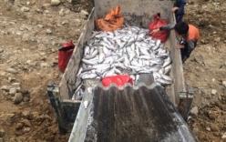 Điều tra nguyên nhân cá hồi Sa Pa đột nhiên chết hàng loạt