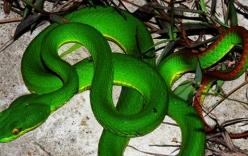 Hà Nội: 3 em bé bị rắn lục đuôi đỏ cắn phải nhập viện