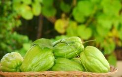Cách trồng su su trong thùng xốp sai trĩu quả