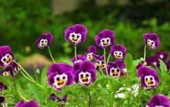 Mong manh như cánh bướm với những giỏ hoa Pansy tự trồng