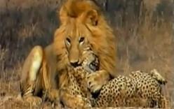 Sư tử đánh nhau với báo đốm