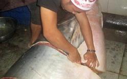 Ngư dân bắt được cá tra dầu khổng lồ nặng 230 kg, dài hơn 2 m