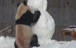 Hài hước cảnh gấu trúc đánh nhau với người tuyết và cái kết