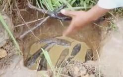 Video: Cao thủ đào hang bẫy đàn cá lóc