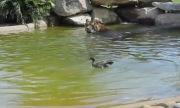 Video: Con vịt dũng cảm nhất thế giới thản nhiên bơi trước mặt hổ dữ