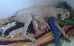 Chó mẹ gãy chân lết hơn 3km tìm người chăm sóc con gây xúc động