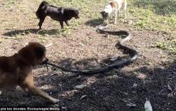Video: 4 chú chó lao vào tấn công hổ mang chúa 2,4 m để cứu chủ