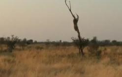 Video: Báo dữ đu mình trên cây, tấn công đoàn làm phim