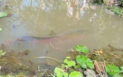 Phát hiện cá lạ nặng 100 kg, dài 2 m bơi trên kênh Tiền Giang