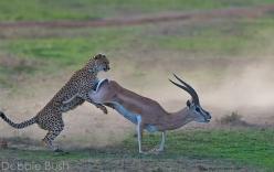 Báo săn tăng tốc như siêu xe, tóm gọn linh dương trong giây lát
