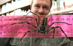 Phát hiện nhện thợ săn khổng lồ dài gần gang tay ở Australia
