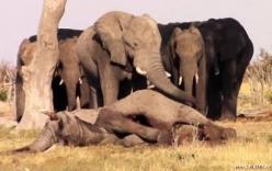 Clip đàn voi khóc thương không chịu rời xác bạn