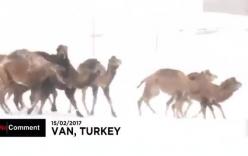 Hy hữu cảnh lạc đà vui đùa khi tuyết rơi ở Thổ Nhĩ Kỳ