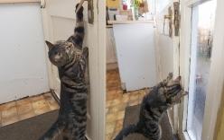 Chú mèo có kỹ năng mở cửa tài tình để chuồn đi chơi