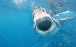 Video: Cá mập tranh nhau xâu xé xác đồng loại