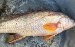 Ngư dân bắt được cá nghi cá sủ vàng trên sông Đồng Nai
