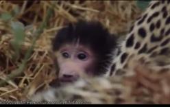 Báo vồ chết khỉ mẹ, ở lại bảo vệ và ủ ấm cho khỉ con