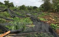 Lốc xoáy kèm mưa lớn trái mùa, quật ngã 70.000 trụ tiêu