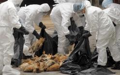 Nam Định: Dịch H5N1 bùng phát, 70 người bị giám sát chặt chẽ
