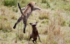 Video: Báo đốm bị chó nuôi gọi đàn truy đuổi khi đột nhập nhà dân