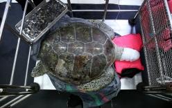Giải cứu chú rùa nuốt gần 1.000 đồng xu
