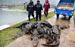 """""""Xách cổ"""" 13.000 cá sấu ra ngoài tắm nắng sau kỳ ngủ đông"""
