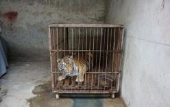 Video: Hổ bị ngược đãi trong những gánh xiếc ở Trung Quốc gây phẫn nộ