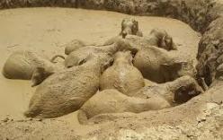 Đàn voi 11 con bị mắc kẹt dưới hố bùn ở Campuchia được giải cứu