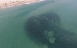 Video: Bầy cá mập quần thảo giữa đàn cá đối khổng lồ
