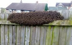 Đàn ong khổng lồ trong vườn khiến gia đình tại Anh hốt hoảng