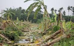 Vụ 3.000 cây chuối bị đốn gục: Công an Hải Phòng lên tiếng
