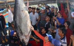 Bắt được cá ngừ vây xanh nặng 240kg ở Trường Sa