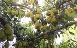 Ngắm cây mít gần 500 quả, sai từ gốc tới ngọn ở Quảng Ngãi