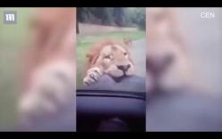 Du khách hoảng loạn khi sư tử bất ngờ lao lên ô tô