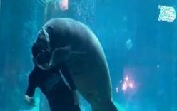 Video: Lợn biển Singapore ăn mừng sinh nhật dưới thủy cung