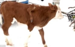 Hy hữu: Bò mọc chân lủng lẳng trên lưng