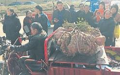 Xôn xao củ khoai lang khổng lồ nặng 41 kg ở Trung Quốc