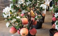 Cảnh báo táo đỏ Trung Quốc nguyên cây trưng Tết có độc, cấm ăn