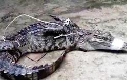 Hy hữu cá sấu 2,6m nằm nghỉ dưới gầm xe
