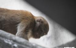Lý do nhiều lần không bắt được hai con khỉ hoang quậy phá khu dân cư ở Hà Nội