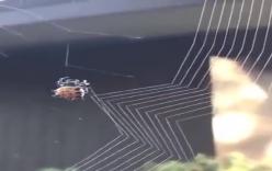 Cận cảnh công việc giăng tơ bắt mồi của loài nhện