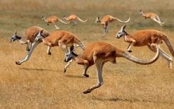 Điều gì khiến kangaroo có thể nhảy liên tục gần 100 km/h?