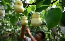 24h qua ảnh: Nông dân trồng lê hình Phật độc đáo ở Trung Quốc
