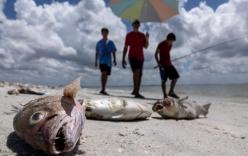 Mỹ: Thủy triều đỏ khiến 300 tấn cá phơi xác