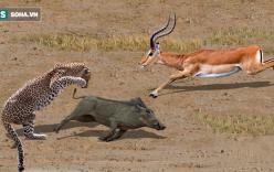 Hành hiệp trượng nghĩa cứu cả đàn lợn, linh dương trở thành mồi cho báo đốm