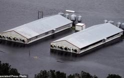 Mỹ: Rắn độc xuất hiện trong nước lũ sau siêu bão
