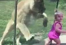 Clip bé gái khóc thét khi bị sư tử vồ qua cửa kính
