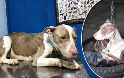 Giải cứu chú chó bị người chủ treo xích ngược đãi suốt nhiều năm