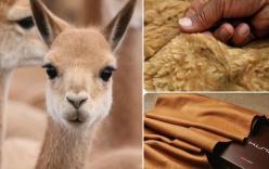 Ít ai ngờ chú lạc đà xinh xẻo này lại là nguồn gốc của loại vải sợi quý hiếm nhất thế giới
