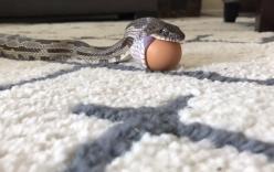 Cận cảnh quá trình banh hàm nuốt trứng đầy vật vã của rắn chuột